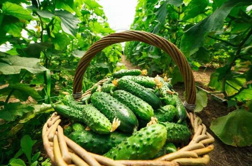 Огурцы - одна из самых любимых огородных культур