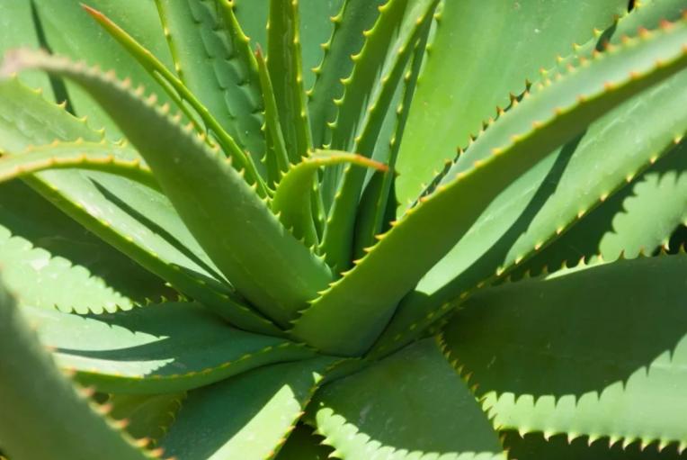 Стимулятор роста для растений: как приготовить из алое вера